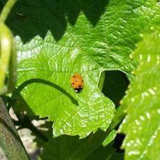 azienda-agricola-tacoli-asquini-azienda-vitivinicola-vini-bicinicco-udine-friuli-italia-sostenibilita-01
