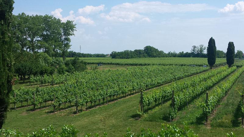 azienda-agricola-tacoli-asquini-azienda-vitivinicola-vini-bicinicco-udine-friuli-italia-vigneti-01